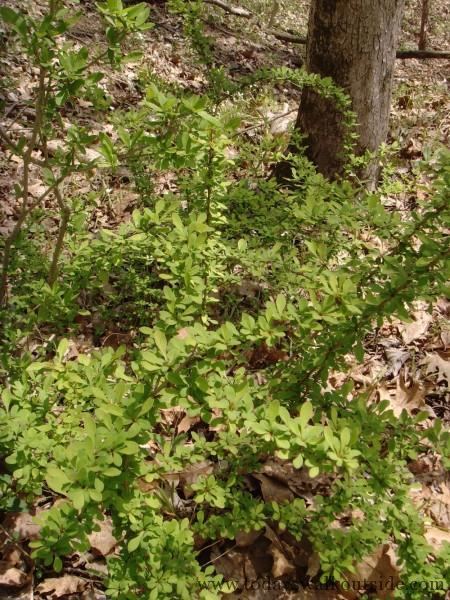 Less of a problem in the shade, Japanese Barberry often grows aggressively in open fields.