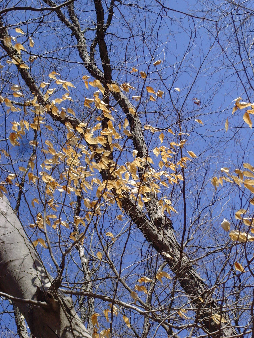 birch_and_blue_sky