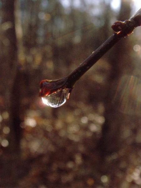 A dripping bud
