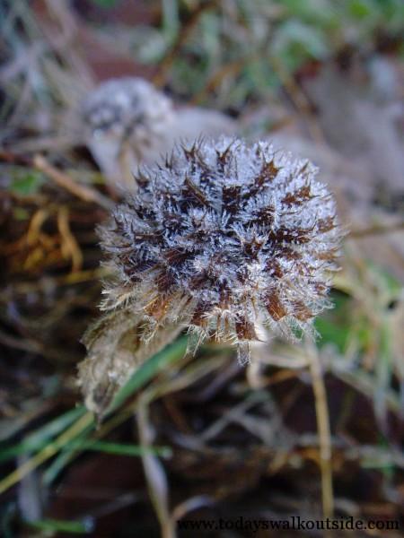Frozen Seed Head