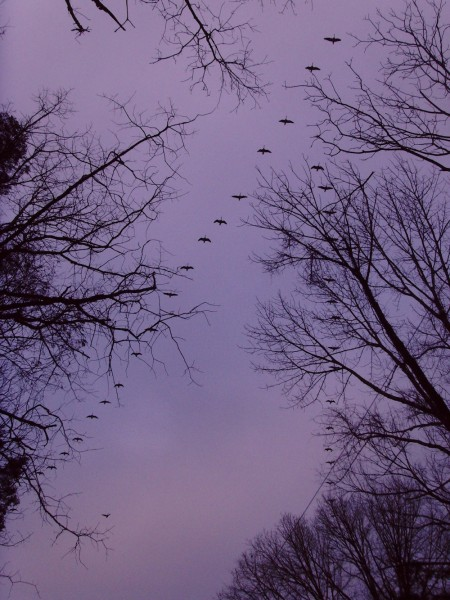 Geese in a morning sky