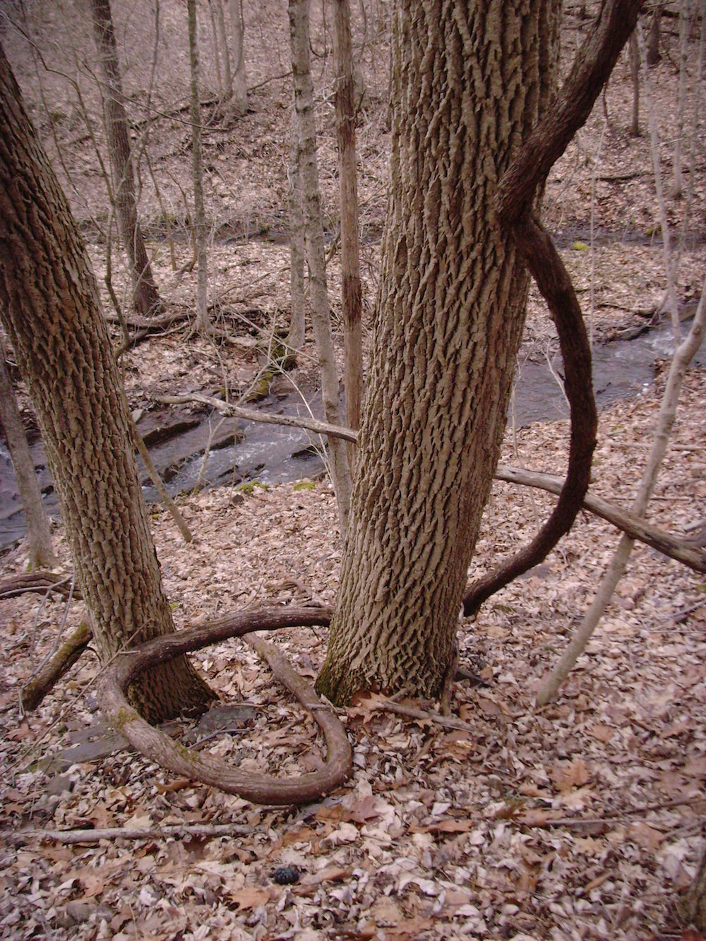 From the archive, the snake-like plant is a native grapevine.