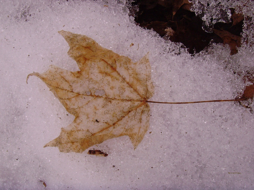 leaf_frozen