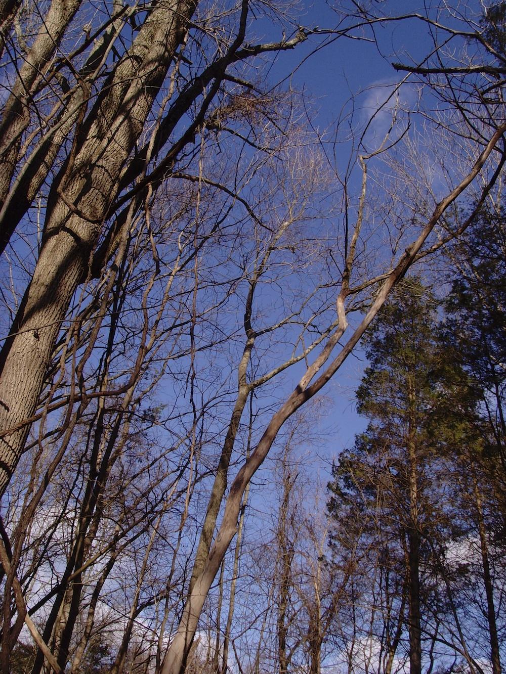 Bare treetops